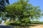 Pedunculate Oak, English Oak