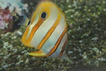 Beaked butterflyfish, Copper-banded butterflyfish (Chelmon rostratus) Photo 40677