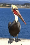 Brown Pelican (Pelecanus occidentalis) Photo 65520