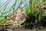 Common Snipe (Gallinago gallinago) Photo 90879