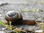 Copse Snail (Arianta arbustorum) Photo 11885