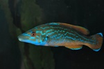 Cuckoo wrasse, Striped wrasse (Labrus mixtus) Photo 53354