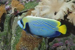 Emperor angelfish (Pomacanthus imperator) Photo 40696