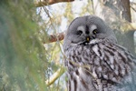 Great Grey Owl, Great Gray Owl (Strix nebulosa) Photo 68288