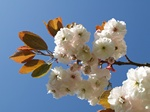Japanese Cherry (Prunus serrulata) Photo 57178