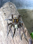 Raft spider (Dolomedes fimbriatus) Photo 36250