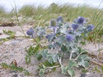 Sea Holly (Eryngium maritimum) Photo 26085