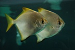 Silver Moony, Diamond moonfish (Monodactylus argenteus) Photo 64143