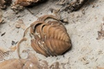 Trilobite - Calymene Photo 64572