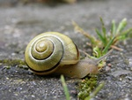 White-lipped Snail (Cepaea hortensis) Photo 12035