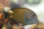 Acanthurus nigrofuscus photo