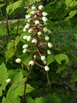 Actaea pachypoda photo