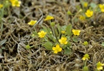 Adder´S-Tongue Spearwort (Ranunculus ophioglossifolius) photo