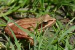 Agile frog (Rana dalmatina) photo