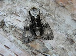 Alder Moth (Acronicta alni) photo