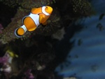 Amphiprion percula photo