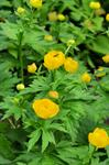 Trollius pulcher photo
