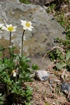 Anemone baldensis photo