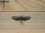 Angle-barred Pug (Eupithecia innotata) photo