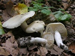 Aromatic Knight (Tricholoma lascivum) photo