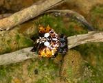 Asian spiny-backed spider (Gasteracantha mammosa) photo