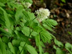 Baneberry, Herb Cristopher (Actaea spicata) photo