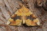 Barred Yellow (Cidaria fulvata) photo