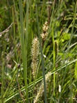 Beaked Sedge (Carex rostrata) photo