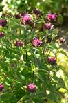 Bee Balm, Bergamot (Monarda didyma) photo