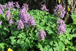 Bird-In-A-Bush (Corydalis solida) photo