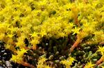 Biting Stonecrop, Wallpepper (Sedum acre) photo