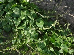 Black Bindweed (Fallopia convolvulus) photo