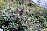 Black Cotoneaster (Cotoneaster niger) photo
