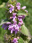 Black Horehound (Ballota nigra) photo
