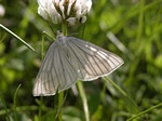 Black-veined Moth (Siona lineata) photo