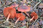 Bloodred Webcap (Cortinarius sanguineus) photo