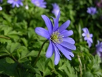Blue Anemone (Anemone apennina) photo