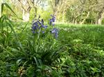 Bluebell (Hyacinthoides non-scripta) photo