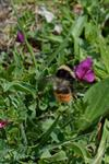 Bombus pyrenaeus photo
