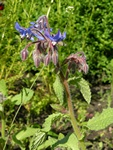 Borage (Borago officinalis) photo