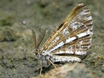 Bordered White (Bupalus piniaria) photo