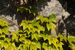 Boston Ivy (Parthenocissus tricuspidata) photo