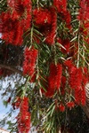 Bottlebrush (Callistemon speciosus) photo