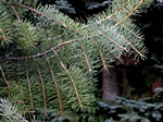 Brewer´s Weeping Spruce (Picea breweriana) photo