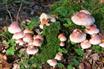 Brick Tuft (Hypholoma lateritium) photo
