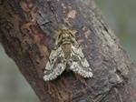 Brindled Beauty (Lycia hirtaria) photo