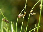Bristle Club-Rush (Isolepis setacea) photo