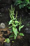 Broad-Leaved Dock (Rumex obtusifolius) photo