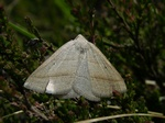 Brown Silver-line (Petrophora chlorosata) photo