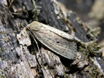 Brown-veined Wainscot (Archanara dissoluta) photo
